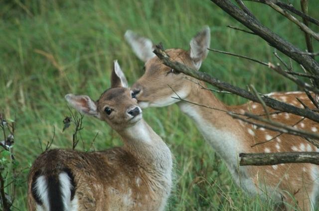 59 dam hert met jong schoon likken klein
