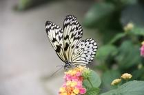 De Orchideeen Hoeve - Papier vlinder (Vlindertuin)
